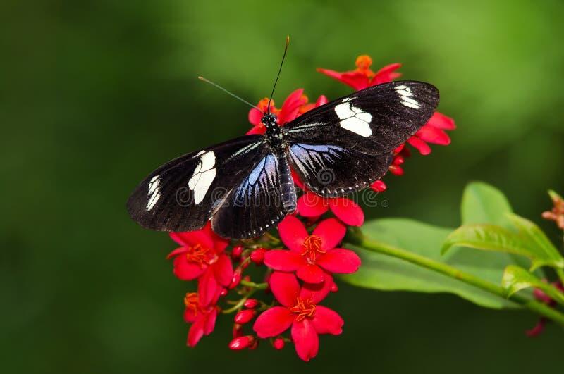 De vlinder van Longwing van Doris op rode bloemen stock foto