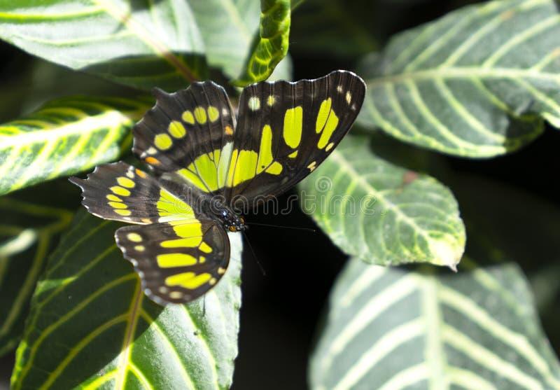 De vlinder van malachietsiproeta stelenes die op blad wordt neergestreken royalty-vrije stock afbeelding
