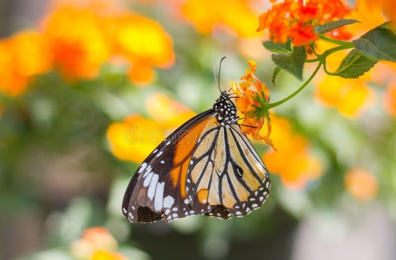 De vlinder van de monarch op een bloem stock foto's