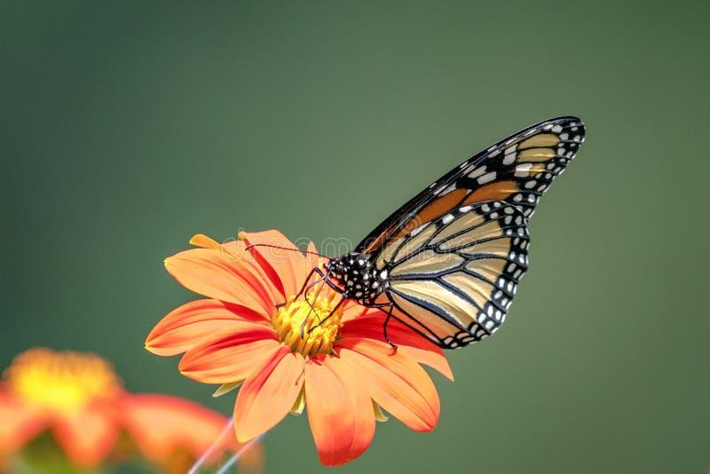 De vlinder van de monarch op een bloem stock foto
