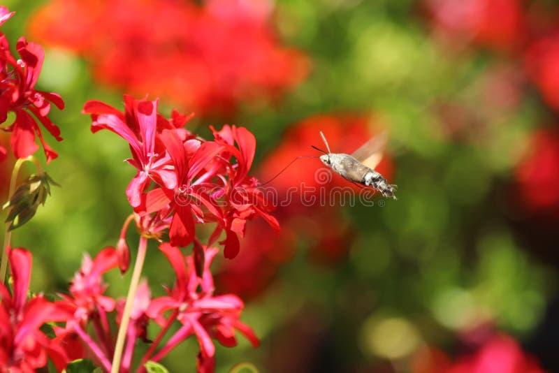 De vlinder van Moro -moro-sphynx of van de kolibrie dichtbij een geranium royalty-vrije stock foto