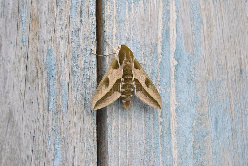 De vlinder van de nacht stock afbeeldingen