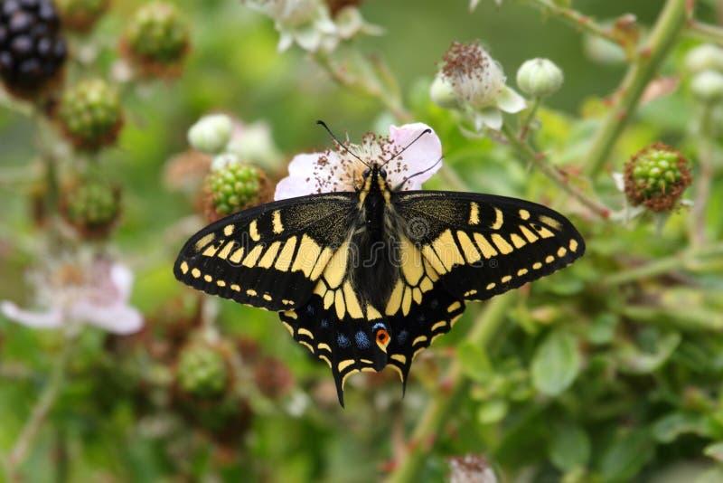 De Vlinder van Oregon Swallowtail (Papilio-oregonius) royalty-vrije stock fotografie