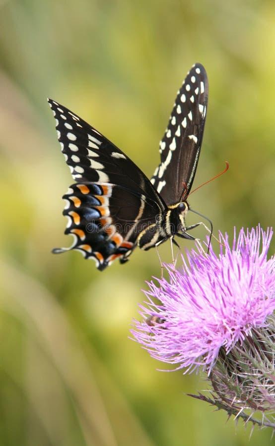 De Vlinder van Papilio stock fotografie