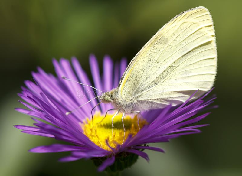 De vlinder van Pierisbrassicae royalty-vrije stock fotografie