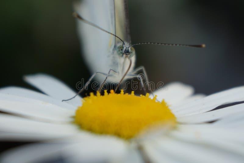 De vlinder van Pierisbrassicae verzamelt nectar van een macro van de madeliefjebloem stock afbeelding