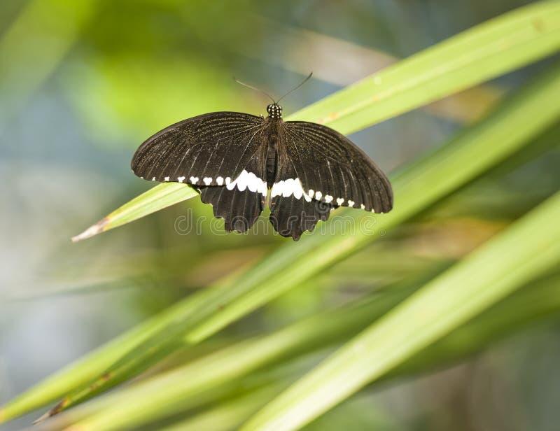 De vlinder van Polytes van Papilio royalty-vrije stock foto