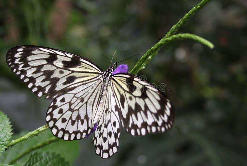 De vlinder van Ricepaper royalty-vrije stock fotografie