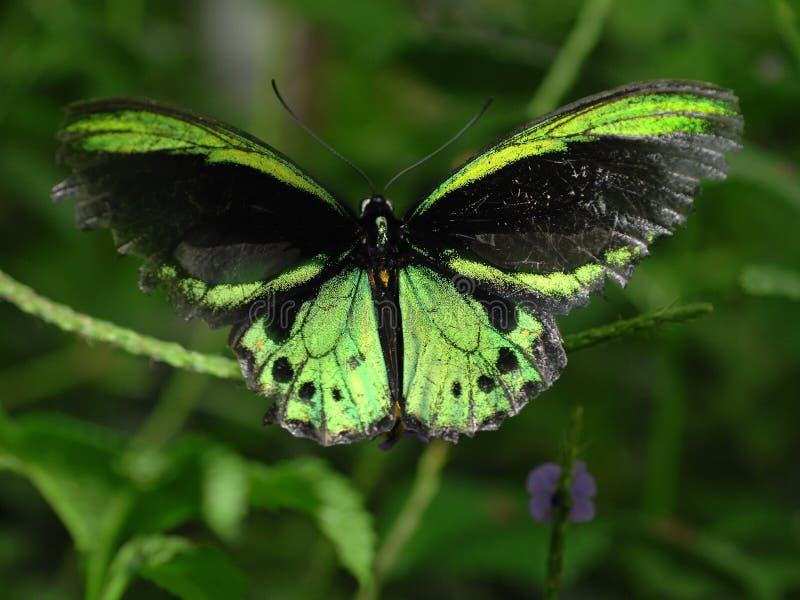 De Vlinder van Richmond Birdwing stock fotografie