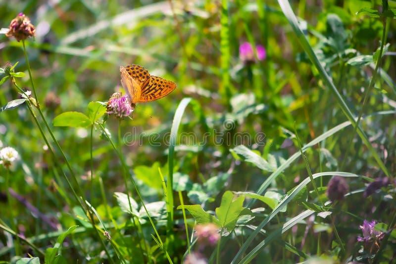 De vlinder van de sluiting op bloem, de vlinder verspreidde de vleugels en de vage achtergrond stock afbeeldingen