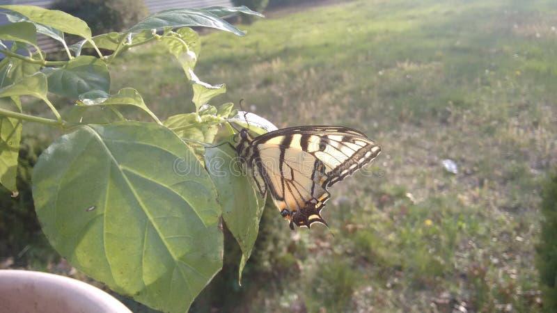 De Vlinder van Swallowtail van de tijger stock afbeelding
