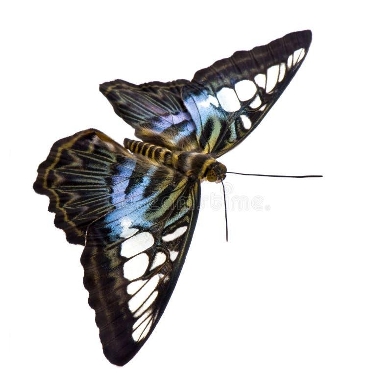De vlinder van Sylvia van Parthenos stock afbeeldingen