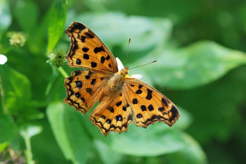De Vlinder van Taiwan op een bloem stock afbeeldingen