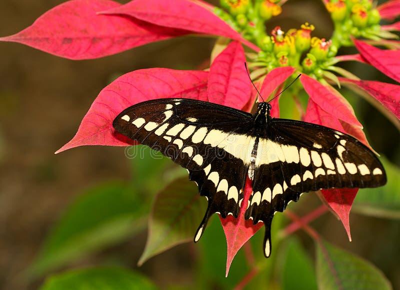 De Vlinder van Thaos stock foto