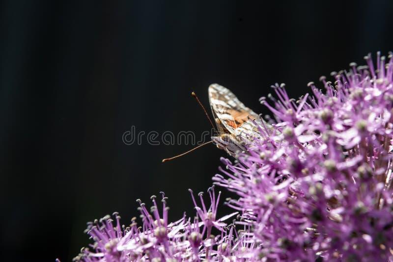 De vlinder verzamelt nectar van een bloem van een decoratieve bol stock foto