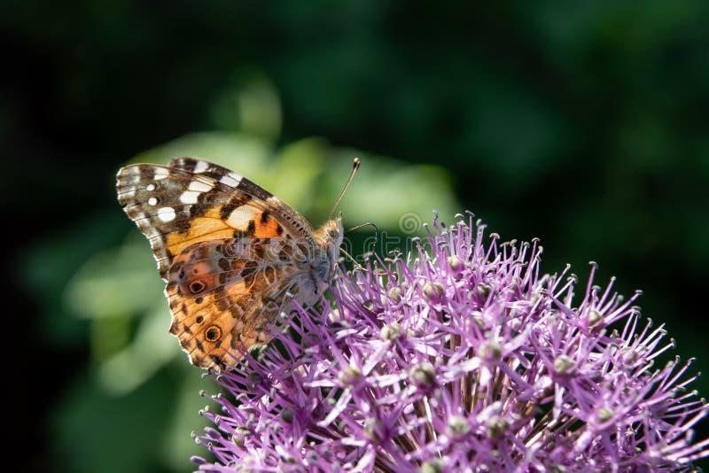 De vlinder verzamelt nectar van een bloem van een decoratieve bol stock fotografie