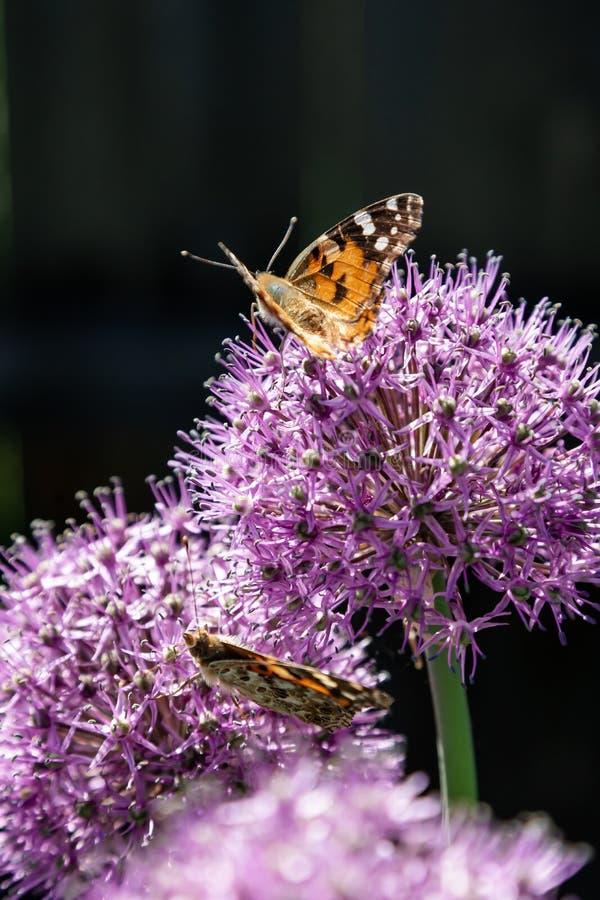 De vlinder verzamelt nectar van een bloem van een decoratieve bol royalty-vrije stock afbeelding