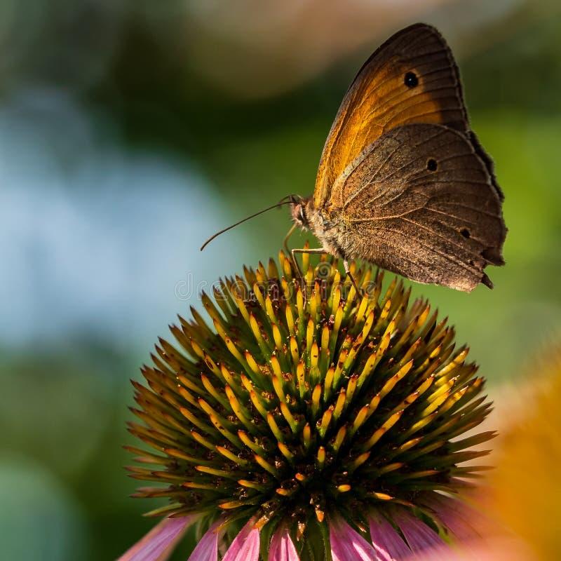 De vlinder zit op een bloem in de zomer in de tuin stock foto