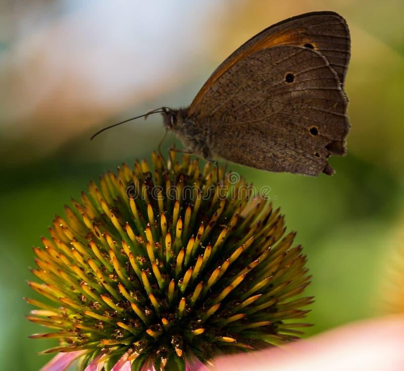 De vlinder zit op een bloem in de zomer in de tuin stock afbeelding