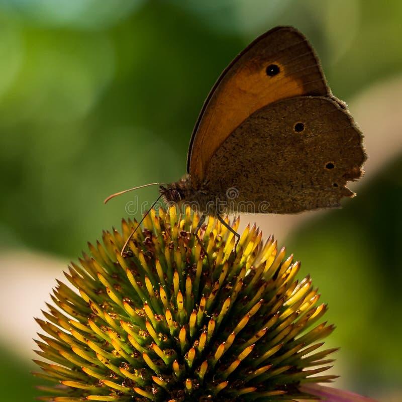 De vlinder zit op een bloem in de zomer in de tuin stock fotografie