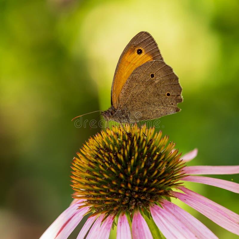 De vlinder zit op een bloem in de zomer in de tuin royalty-vrije stock foto