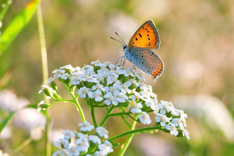 De vlinder zit op witte bloemen royalty-vrije stock afbeeldingen