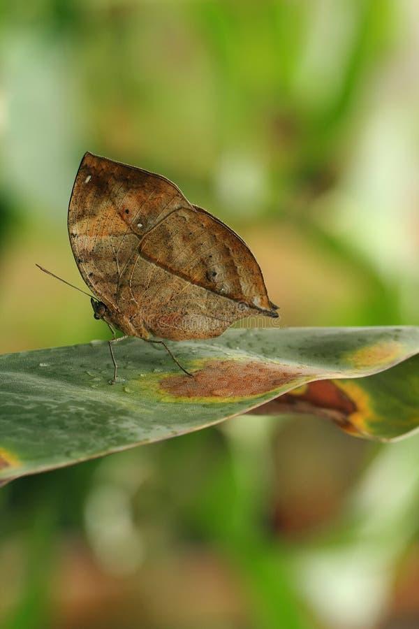 De vlindercamouflage van het blad stock afbeelding