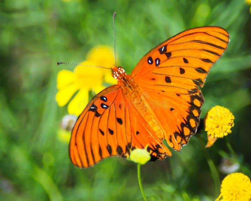 De Vlinderdraagwijdte van golffritillary royalty-vrije stock foto's