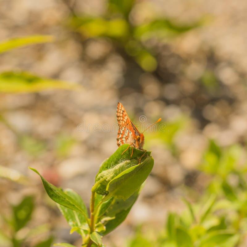 De Vlindermacro van Aniciacheckerspot stock foto's