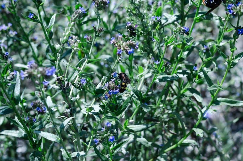 De vlinders en de insecten verzamelen zoete nectar van wilde wildflowers Grote selectieve nadruk stock fotografie