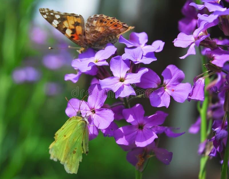 De vlinders schilderden dame en gemeenschappelijke zwavel op Purpere bloemen van Hesperis royalty-vrije stock afbeelding