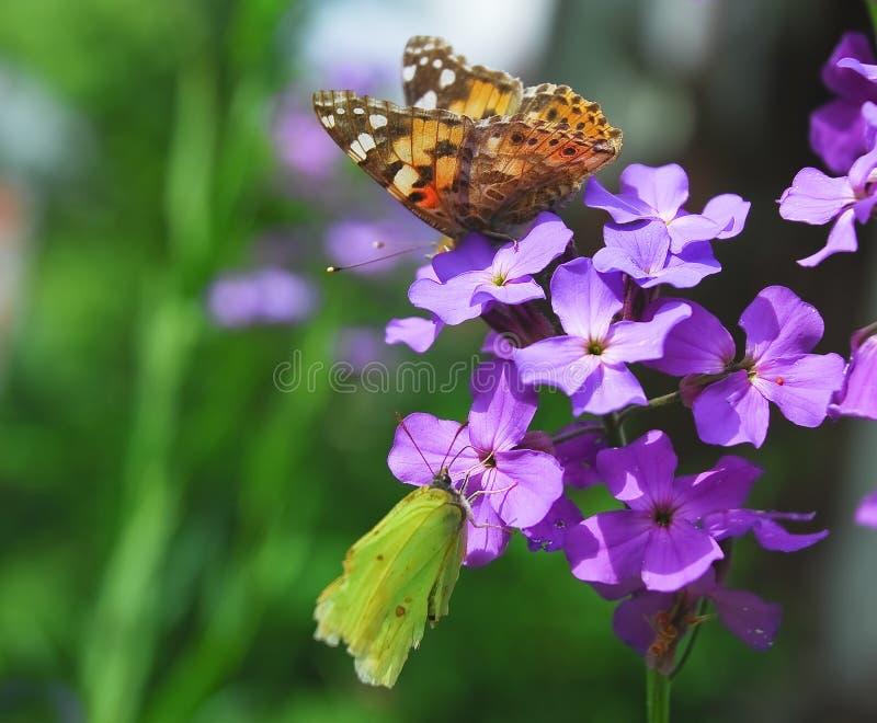De vlinders schilderden dame en gemeenschappelijke zwavel op Purpere bloemen van Hesperis stock foto's