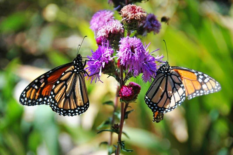 De Vlinders van de monarch royalty-vrije stock foto