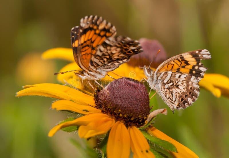 De vlinders van Gorgonecherckerspot stock afbeeldingen