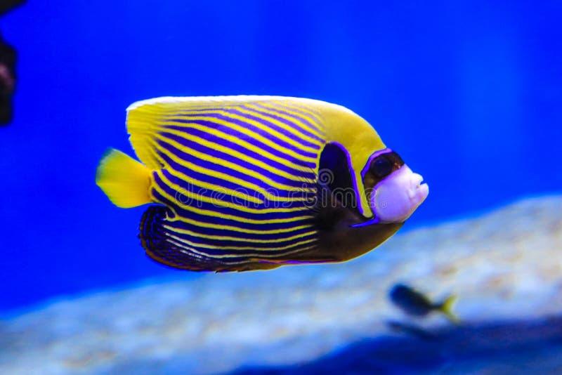 De vlindervis zwemt in blauw water op koraalachtergrond stock afbeeldingen