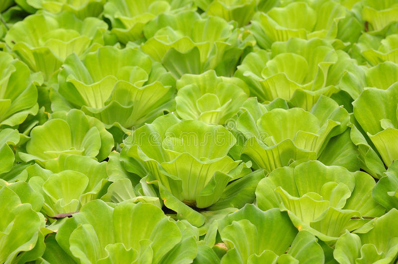 De vlotter van de waterhyacint stock afbeeldingen