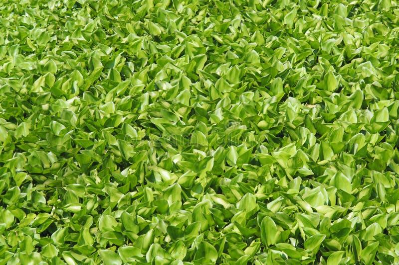 De vlotter van de waterhyacint op het water royalty-vrije stock foto