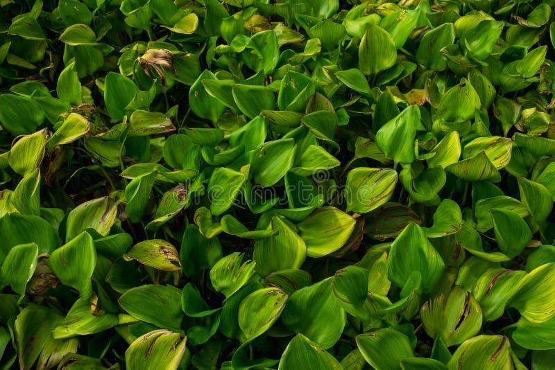 De vlotter van de waterhyacint op rivier in ochtendtijd dit beeld voor pl royalty-vrije stock afbeeldingen