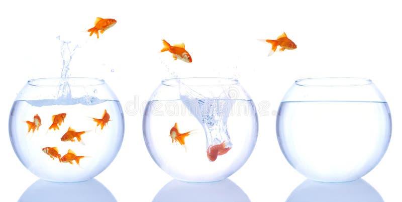 De vlucht van de goudvis stock afbeelding