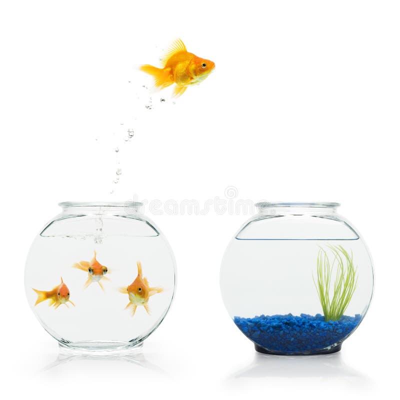 De Vlucht van de goudvis stock fotografie