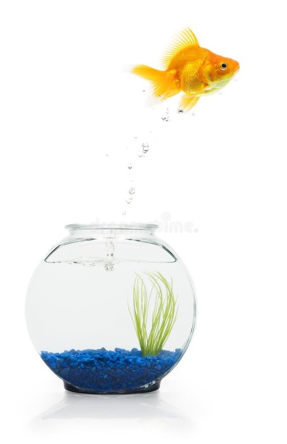 De Vlucht van de goudvis stock foto