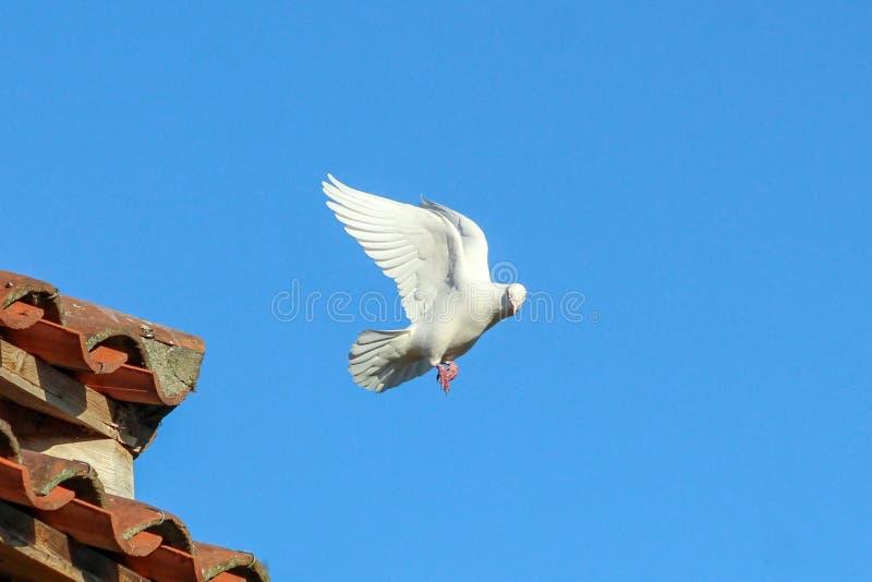 De vlucht van een duif stock foto