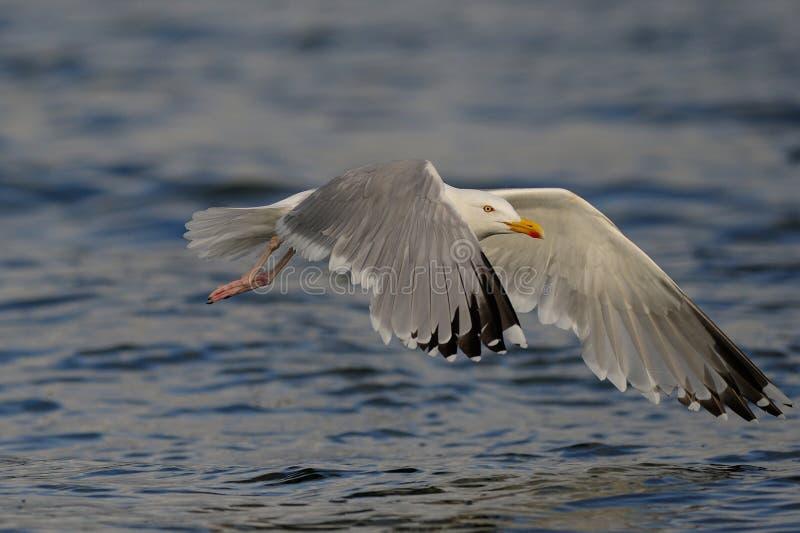 De vlucht van de haringenmeeuw over de Noordzee royalty-vrije stock fotografie