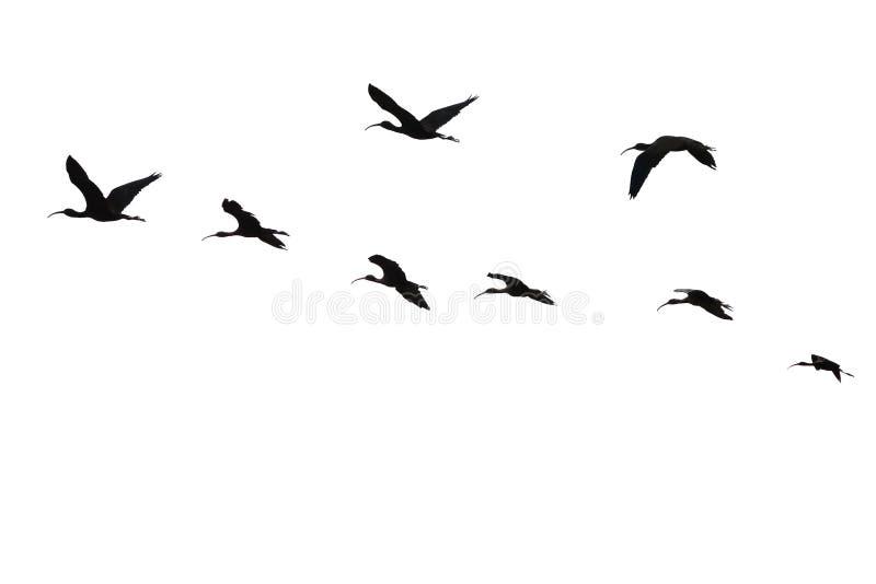De vlucht van heilige ibis.isolated. stock afbeeldingen