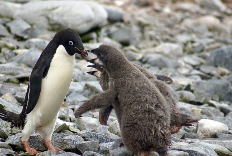De voedende kuikens van de Adeliepinguïn in Antarctica stock afbeeldingen
