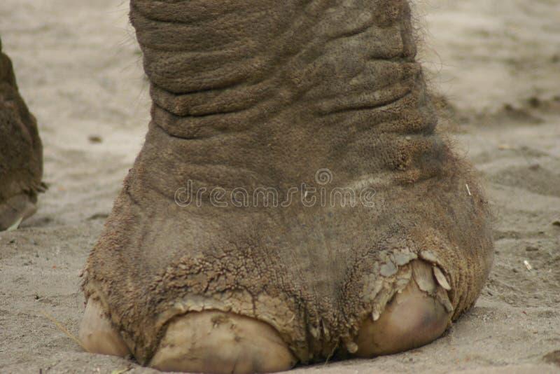 De Voet van de olifant stock fotografie