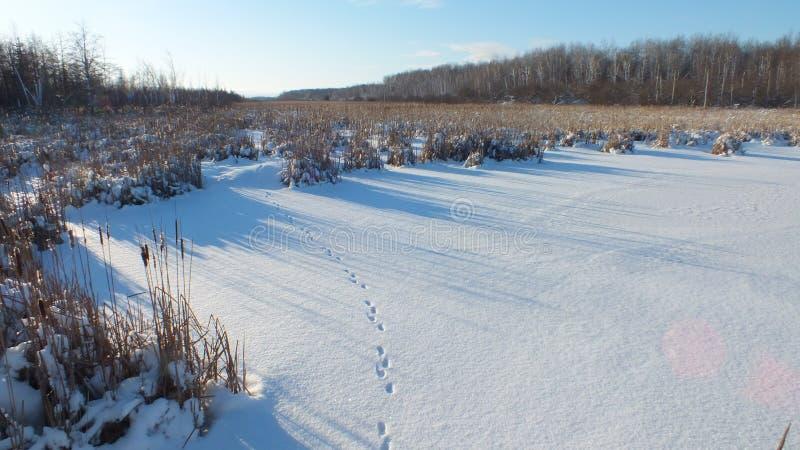 De voetafdrukken van de vos op de sneeuw royalty-vrije stock foto