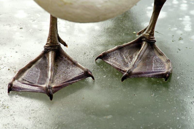 De voeten van de zwaan stock afbeeldingen