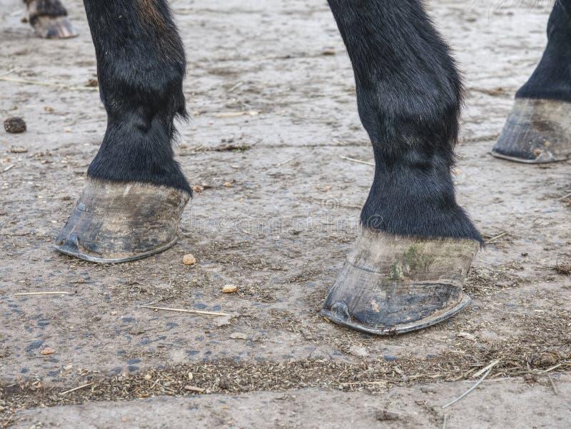 De voeten van het detailpaard op de grasrijke grond Unshod hoef stock fotografie