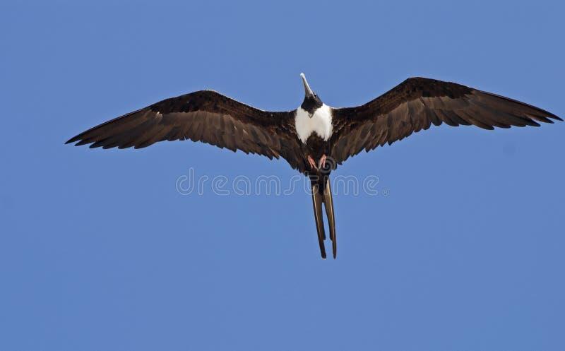 De vogel die van het fregat met uitgespreide vleugels glijdt royalty-vrije stock foto